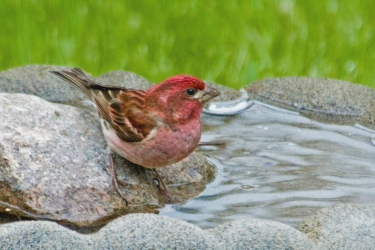 Finch - Purple - male - Dunning Lake, MN - 07