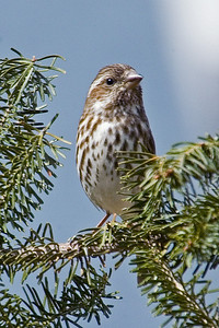 Finch - Purple - female - Itasca County, MN - 01