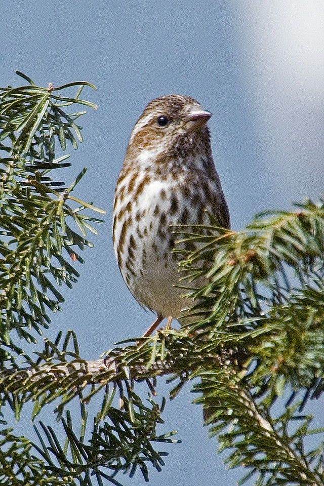 Finch - Purple - female - Itasca County, MN - 01