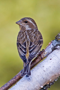 Finch - Purple - female - Dunning Lake, MN - 01