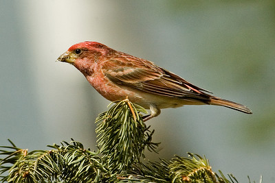 Finch - Purple - male - Dunning Lake, MN - 05