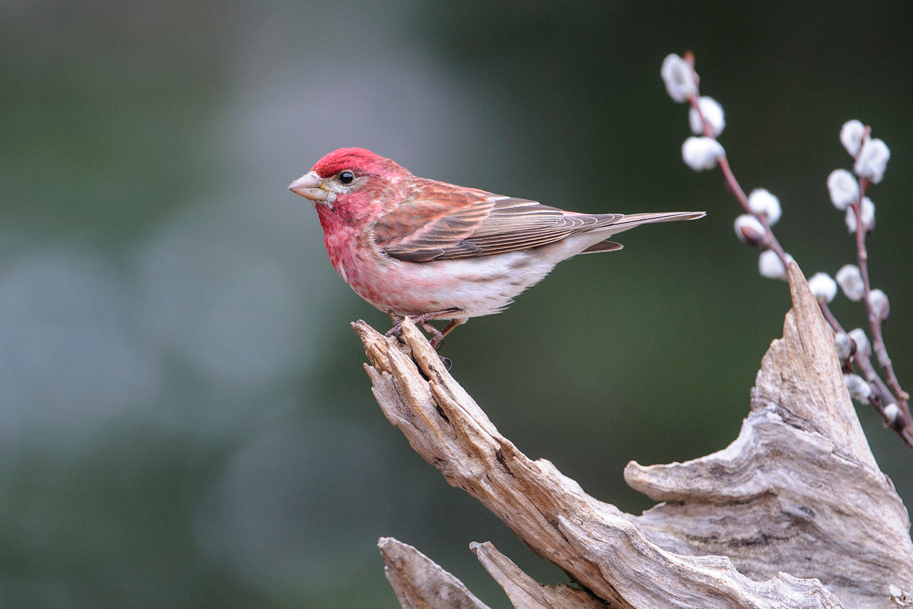 Finch - Purple - male - Dunning Lake - Itasca County, MN