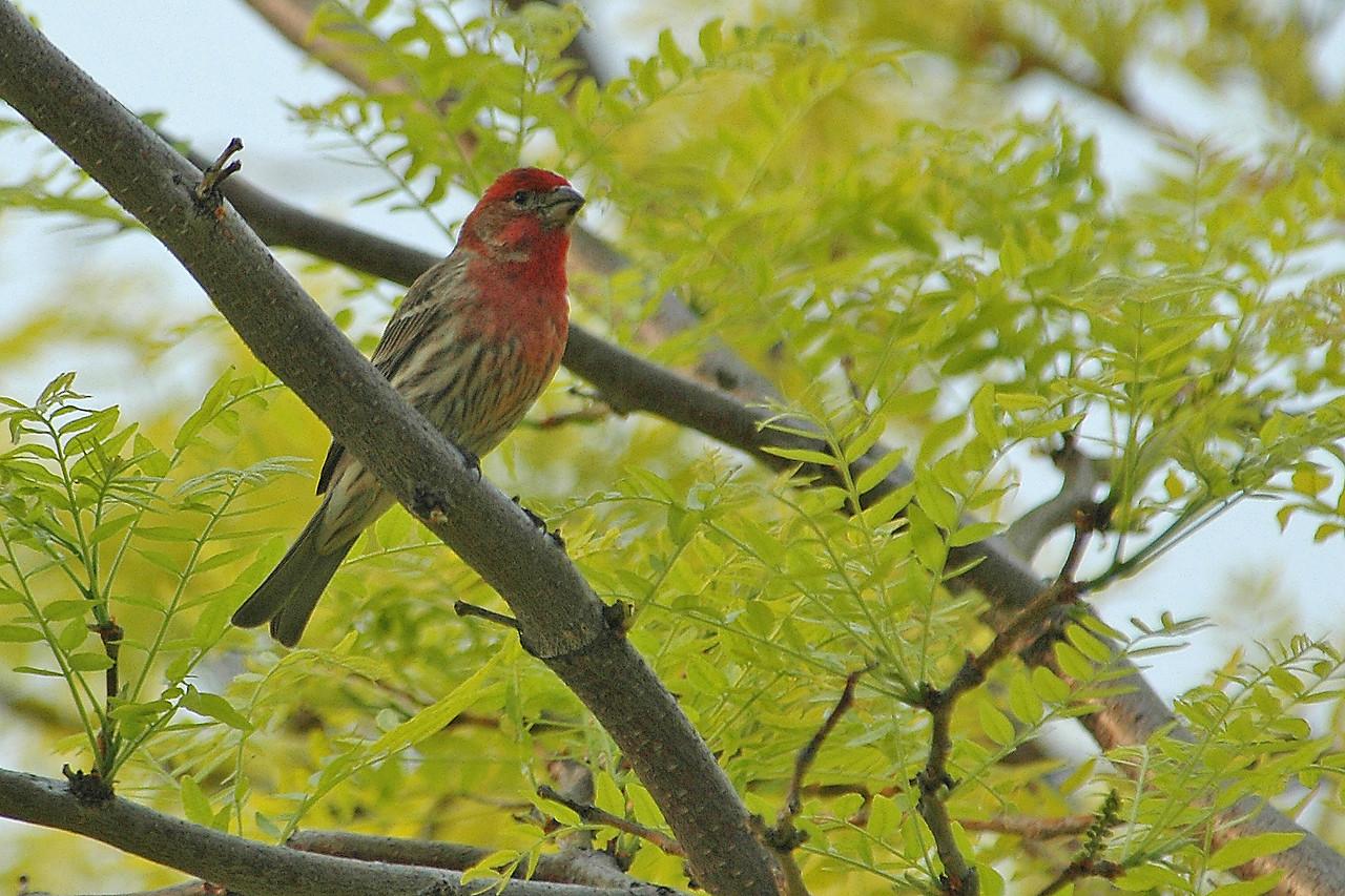 Finch - House - male - Alexandria Bay, NY