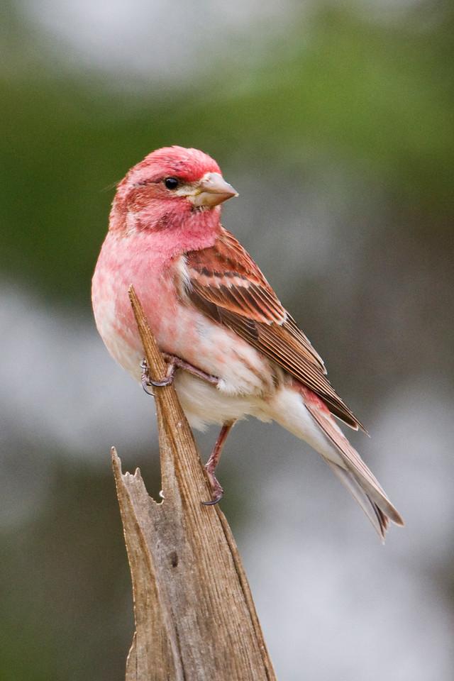 Finch - Purple - male - Dunning Lake, MN - 02