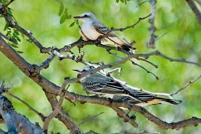Flycatcher - Scissor-tailed - juvenile - Perry, OK