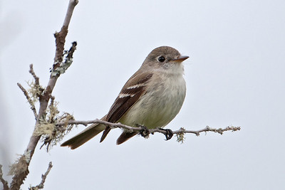 Flycatcher - Least - Lima Mountain Road - Cook County, MN - 02