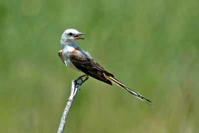 Flycatcher - Scissor-tailed - Perry, OK - 02