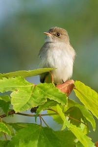 Flycatcher - Alder - Dunning Lake, MN