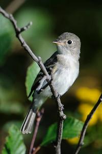 Flycatcher - Least - Taconite Harbor, MN