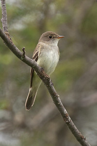 Flycatcher - Alder - Lima Mountain Road -Cook County, MN - 01