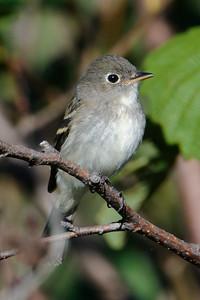 Flycatcher - Least - Taconite Bay, MN