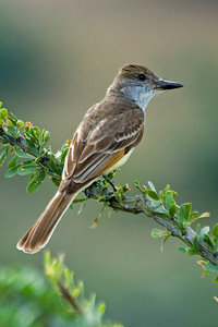 Flycatcher - Brown-crested - California Gulch, AZ