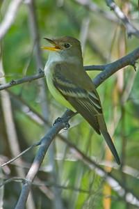 Flycatcher - Willow - Purgatory Creek - Eden Prairie, MN