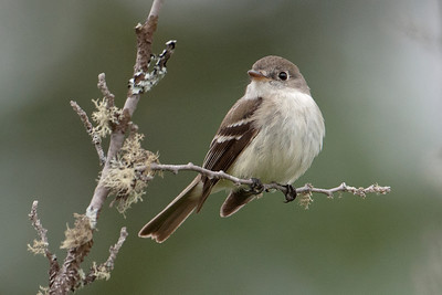 Flycatcher - Least - Lima Mountain Road - Cook County, MN - 01