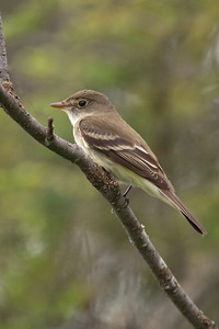 Flycatcher - Alder - Lima Mountain Road -Cook County, MN - 02