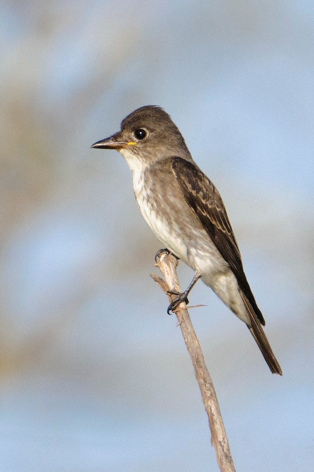 Flycatcher - Olive-sided - Itasca CR 325 - MN
