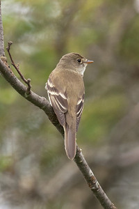 Flycatcher - Alder - Lima Mountain Road -Cook County, MN - 03