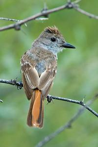Flycatcher - Ash-throated - California Gulch, AZ