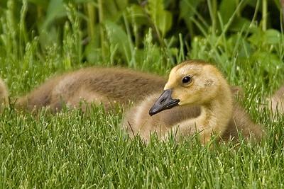 Goose - Canada - juvenile - Shoreview, MN
