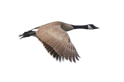 Goose - Canada - Dunning Lake, MN