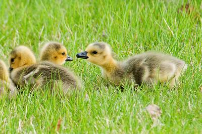 Goose - Canada - babies - Shoreview, MN - 05