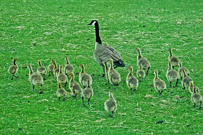 Goose - Canada - adult and babies - Ontario, Canada