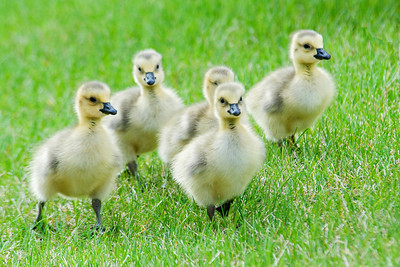 Goose - Canada - babies - Shoreview, MN - 04