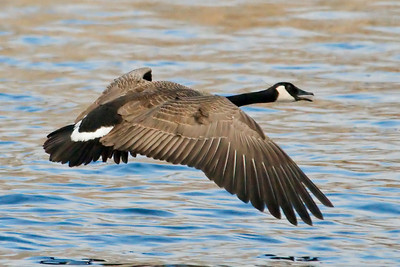 Goose - Canada - Mud Goose WMA - MN