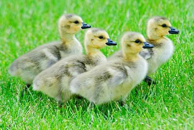 Goose - Canada - babies - Shoreview, MN - 02