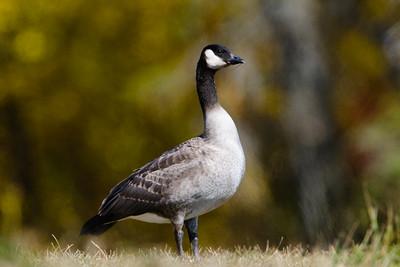 Goose - Cackling - Brighton Beach - Duluth, MN