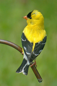 Goldfinch - American - male - Dunning Lake, MN - 03