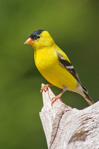 Goldfinch - American - male - Dunning Lake, MN - 02