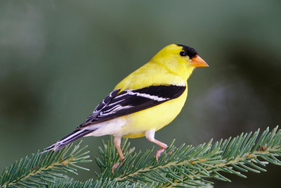 Goldfinch - American - male - LaPrairie, MN