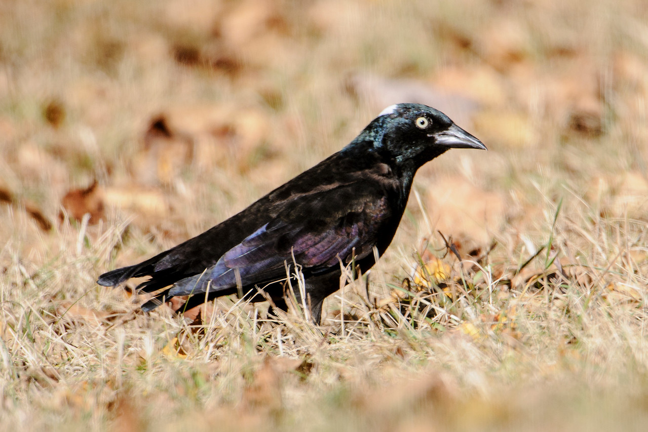 Grackle - Common - Leucistic - short tail - Dunning Lake - Itasca County, MN