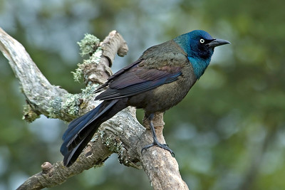 Grackle - Common - Dunning Lake, MN - 01