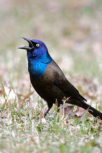 Grackle - Common - Dunning Lake, MN - 08