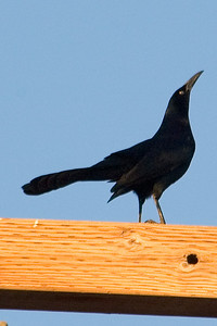 Grackle - Great-tailed - male - Brawley, CA