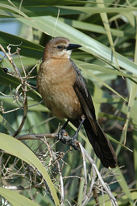Grackle - Boat-tailed - female - St. Mark's NWR - FL - 03