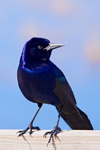 Grackle - Boat-tailed - male - St. Mark's NWR - FL - 01