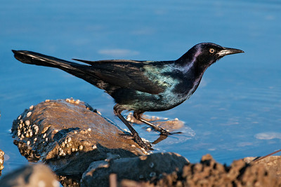 Grackle - Boat-tailed - male - Apalachicola, FL - 02