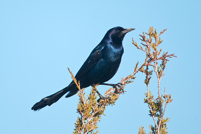 Grackle - Boat-tailed - male - St. Mark's NWR - FL - 04