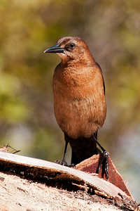 Grackle - Boat-tailed - female - St. Mark's NWR - FL - 05