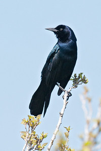 Grackle - Boat-tailed - male - St. Mark's NWR - FL - 05