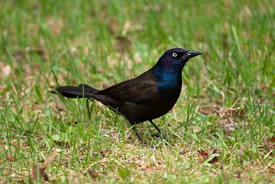 Grackle - Common - Dunning Lake, MN - 05