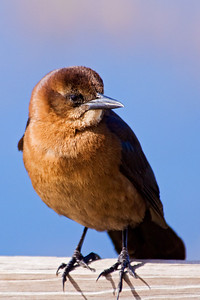 Grackle - Boat-tailed - female - St. Mark's NWR - FL - 01