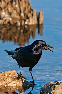 Grackle - Boat-tailed - male - Apalachicola, FL - 01