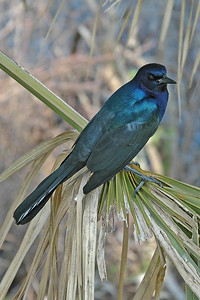 Grackle - Boat-tailed - male - St. Mark's NWR - FL - 03