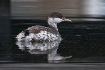 Grebe - Horned - non-breeding plumage - Grand Marais, MN - 03