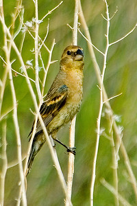 Grosbeak - Blue - female - Buenes Aires NWR - AZ