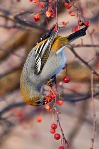 Grosbeak - Pine - juvenile - Bovey, MN